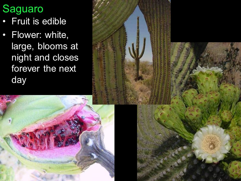 Saguaro Fruit is edible