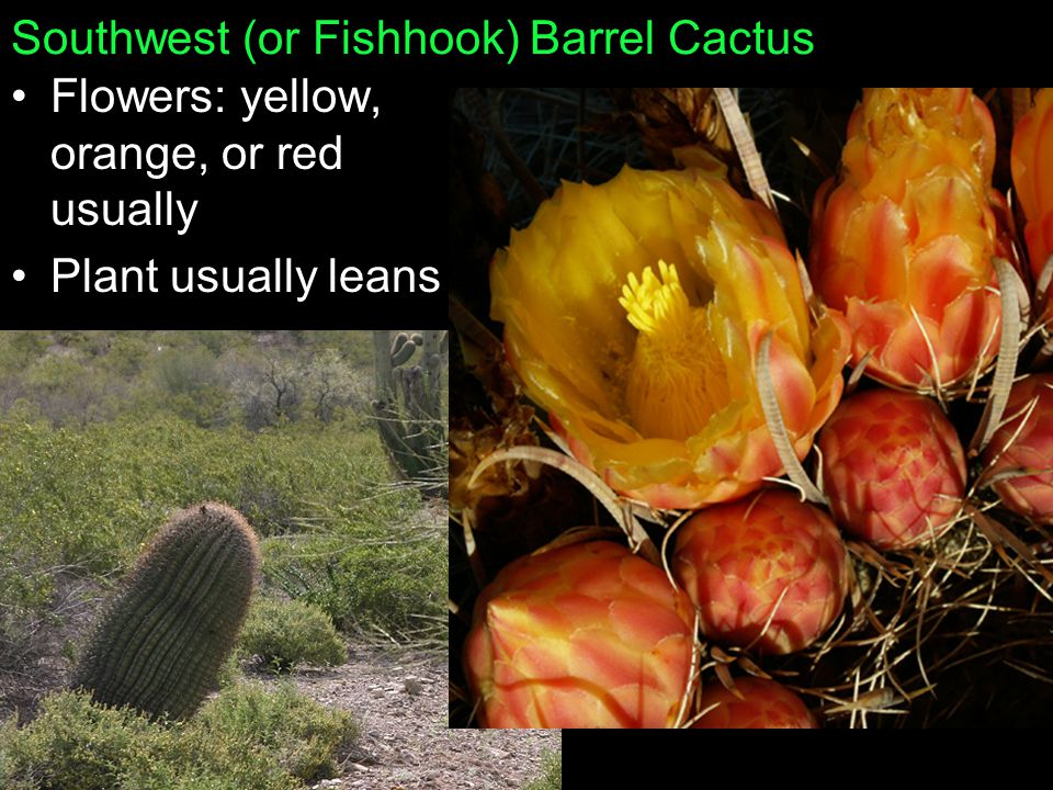 Southwest (or Fishhook) Barrel Cactus