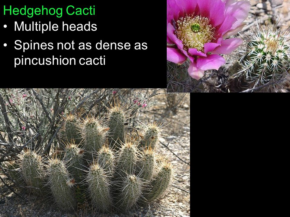 Hedgehog Cacti Multiple heads Spines not as dense as pincushion cacti
