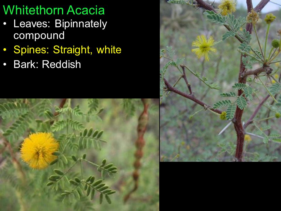 Whitethorn Acacia Leaves: Bipinnately compound Spines: Straight, white