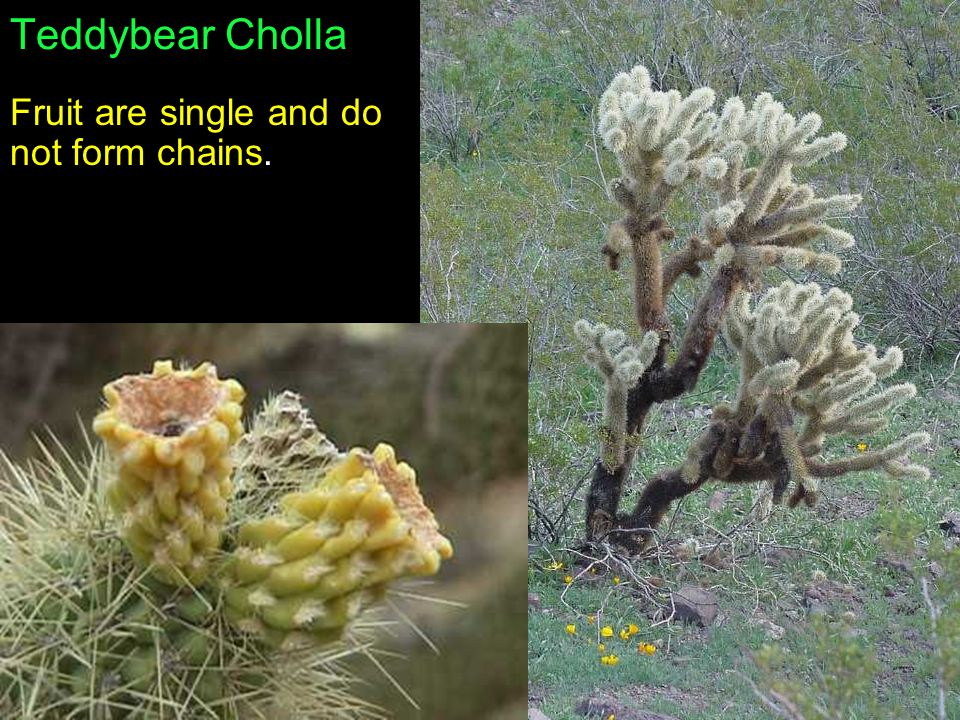 Teddybear Cholla Fruit are single and do not form chains.