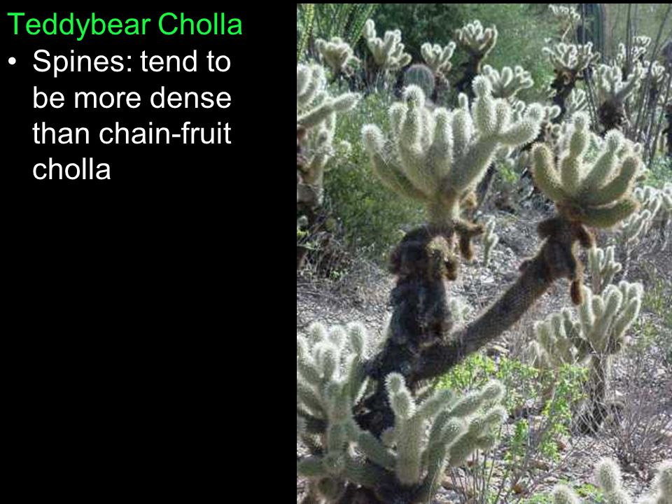 Teddybear Cholla Spines: tend to be more dense than chain-fruit cholla