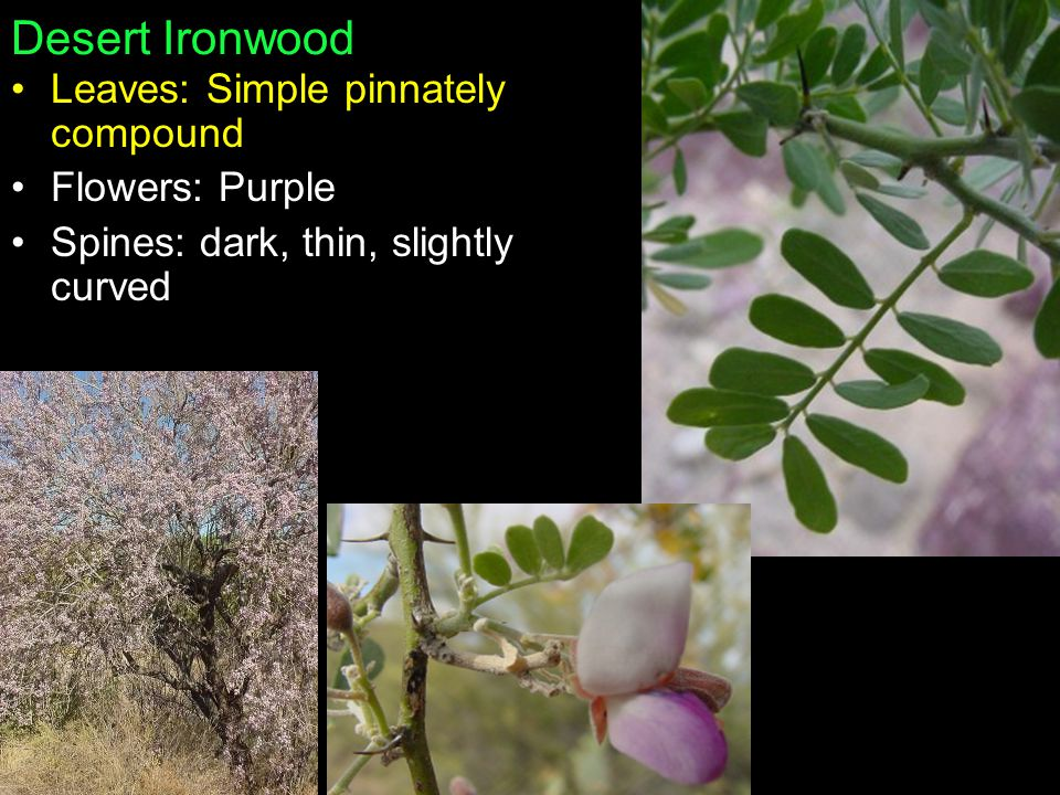 Desert Ironwood Leaves: Simple pinnately compound Flowers: Purple