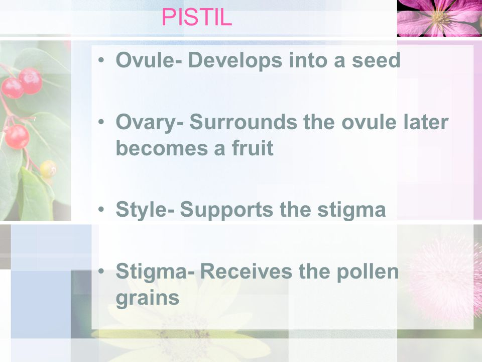 PISTIL Ovule- Develops into a seed