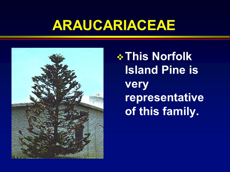 ARAUCARIACEAE This Norfolk Island Pine is very representative of this family.