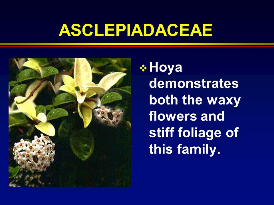 ASCLEPIADACEAE Hoya demonstrates both the waxy flowers and stiff foliage of this family.