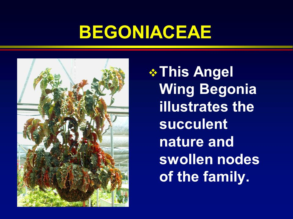 BEGONIACEAE This Angel Wing Begonia illustrates the succulent nature and swollen nodes of the family.