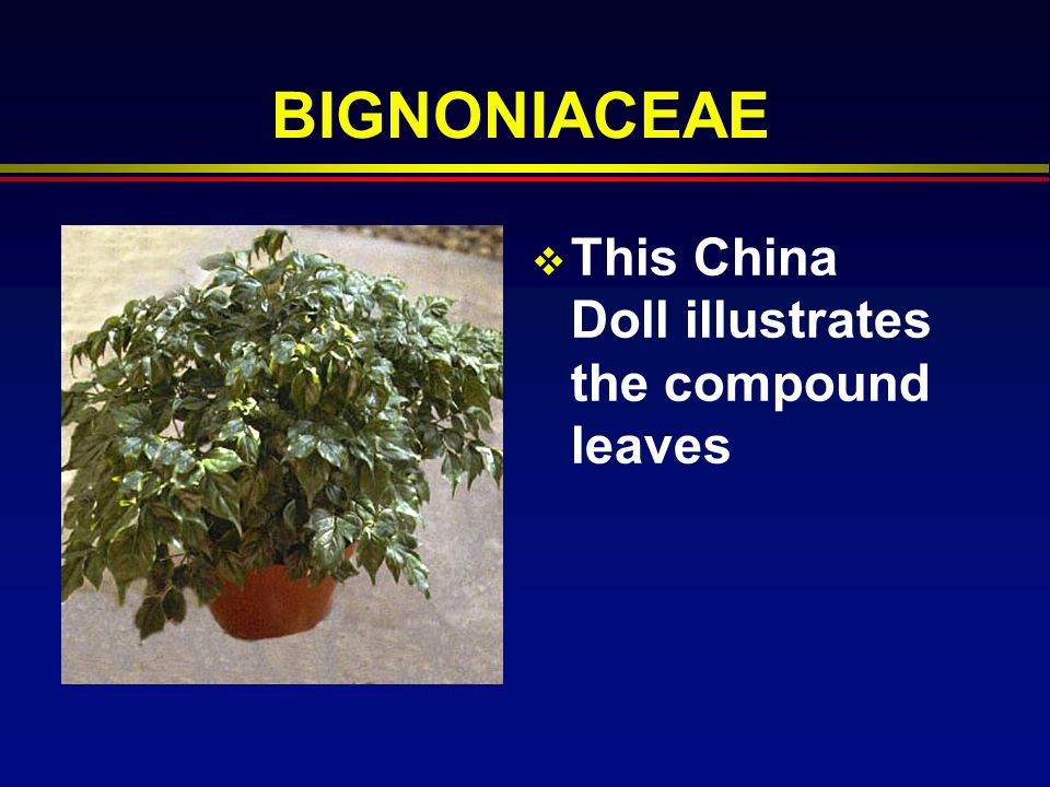 BIGNONIACEAE This China Doll illustrates the compound leaves