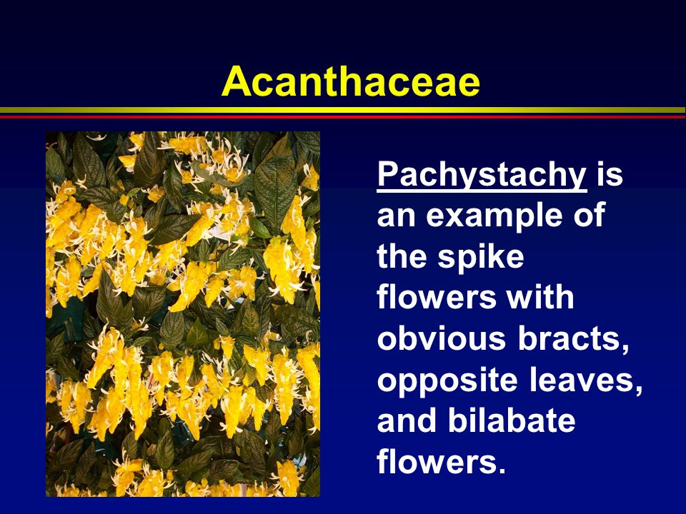 Acanthaceae Pachystachy is an example of the spike flowers with obvious bracts, opposite leaves, and bilabate flowers.