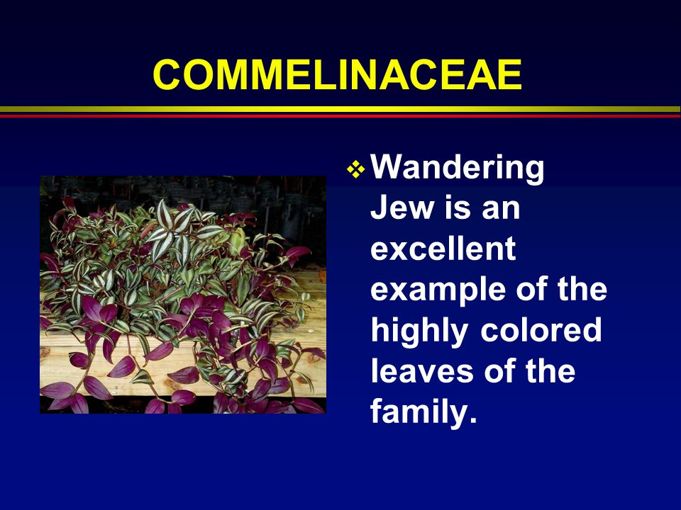 COMMELINACEAE Wandering Jew is an excellent example of the highly colored leaves of the family.