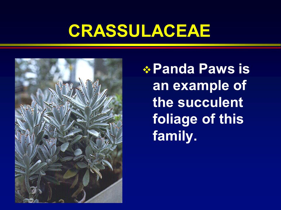 CRASSULACEAE Panda Paws is an example of the succulent foliage of this family.