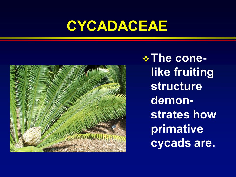 CYCADACEAE The cone-like fruiting structure demon-strates how primative cycads are.