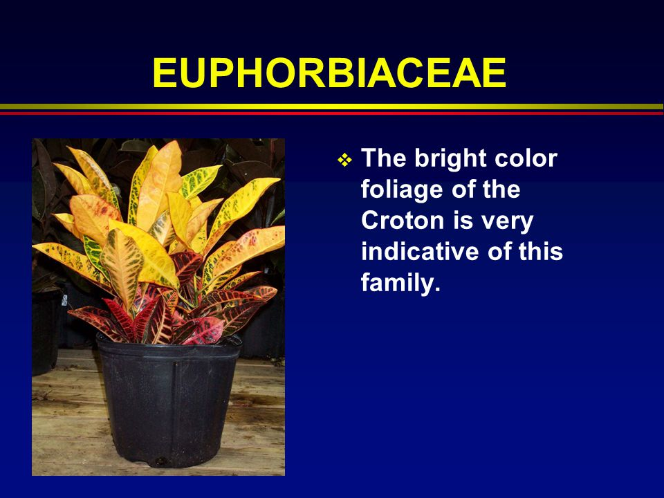 EUPHORBIACEAE The bright color foliage of the Croton is very indicative of this family.