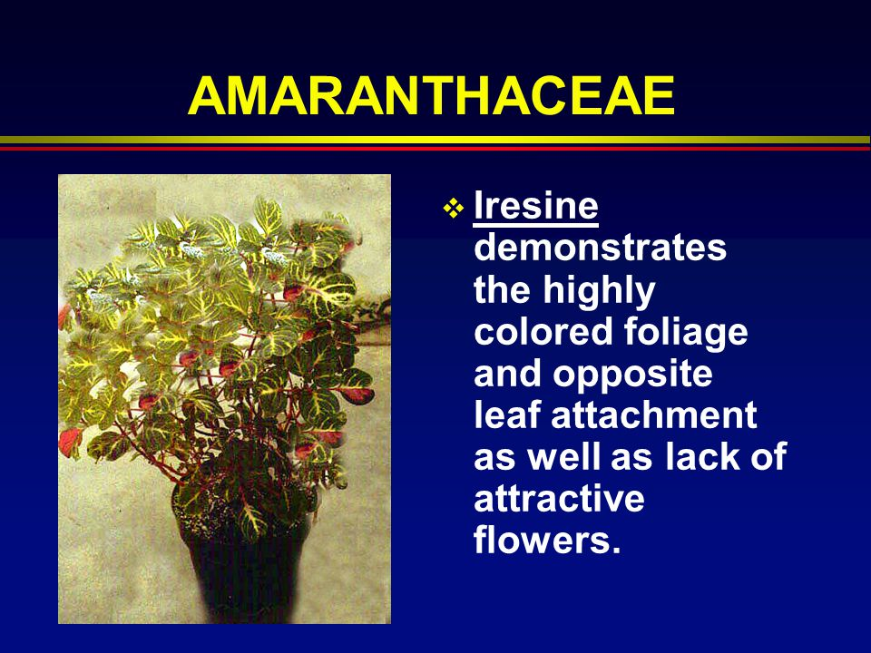 AMARANTHACEAE Iresine demonstrates the highly colored foliage and opposite leaf attachment as well as lack of attractive flowers.