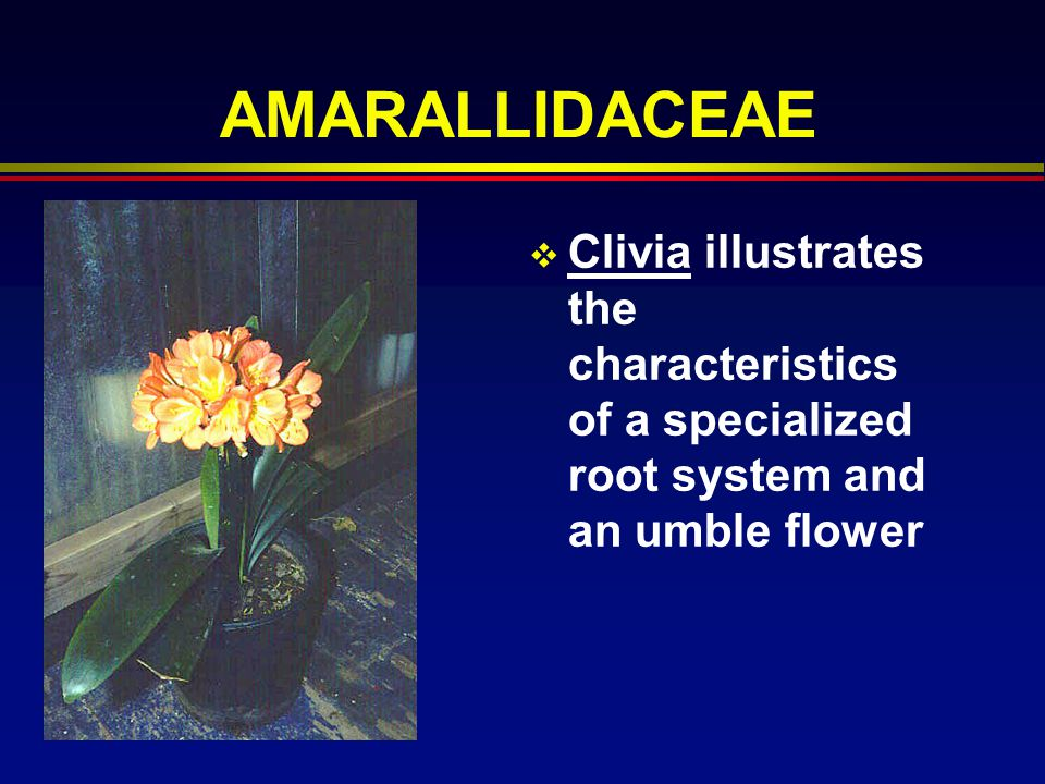 AMARALLIDACEAE Clivia illustrates the characteristics of a specialized root system and an umble flower.