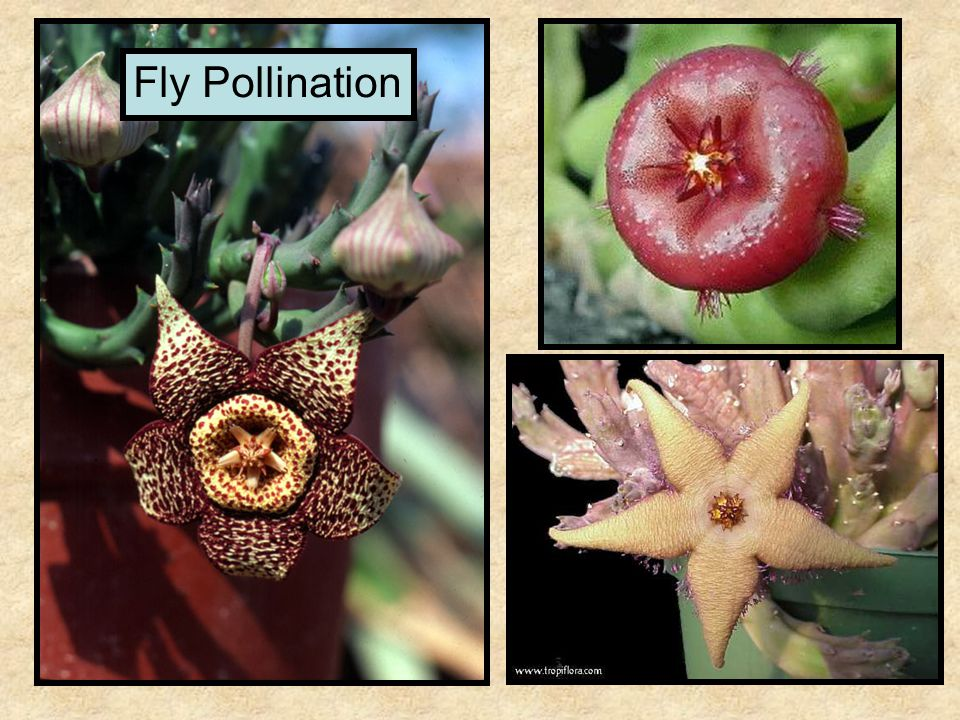 Fly Pollination