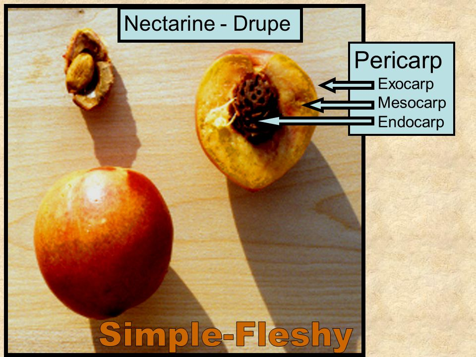 Nectarine - Drupe Pericarp Exocarp Mesocarp Endocarp Simple-Fleshy