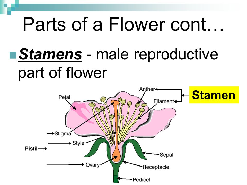 Parts of a Flower cont… Stamens - male reproductive part of flower