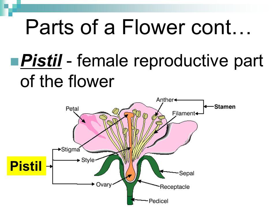 Parts of a Flower cont… Pistil - female reproductive part of the flower Pistil