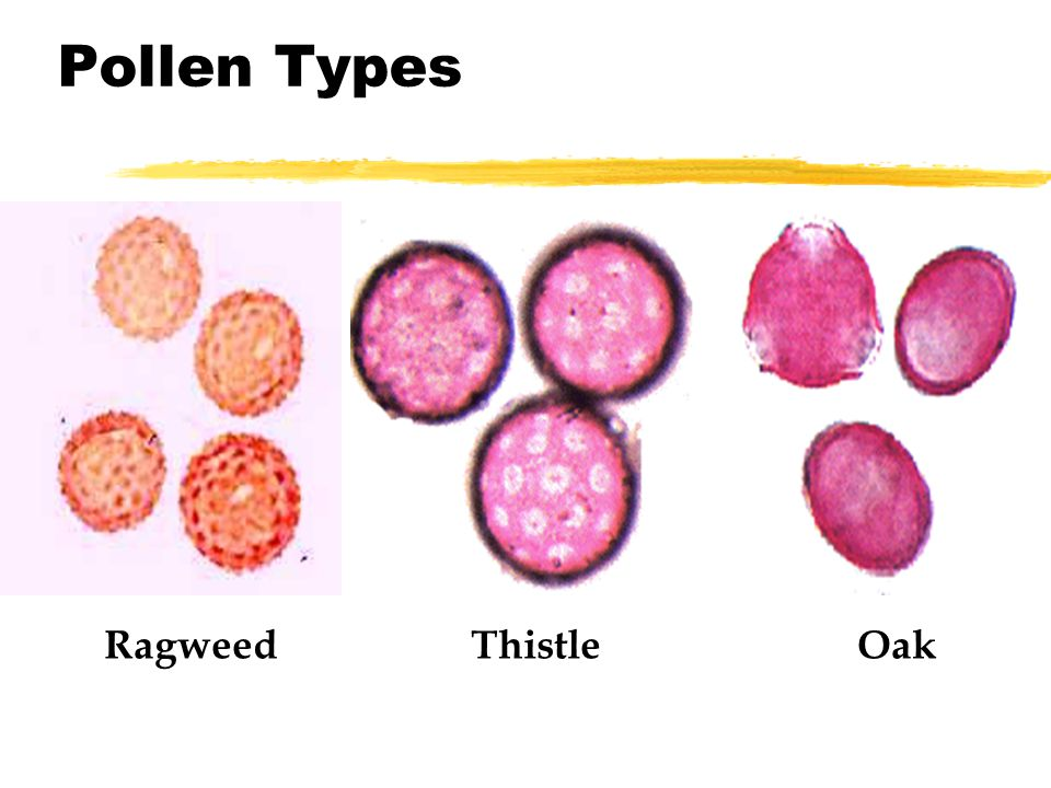 Pollen Types Ragweed Thistle Oak
