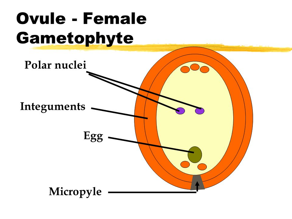Ovule - Female Gametophyte