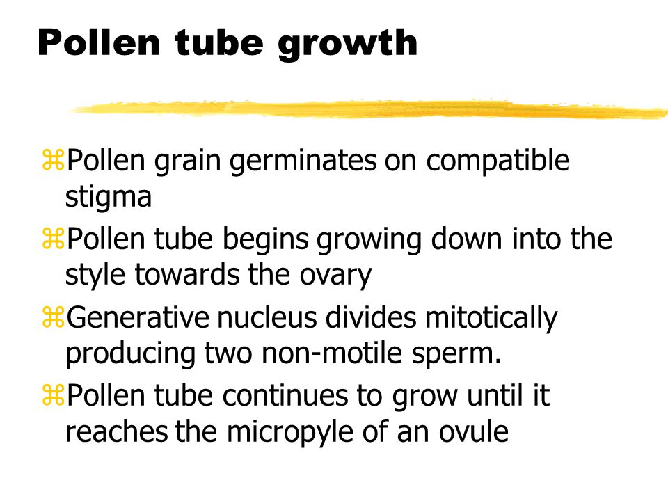 Pollen tube growth Pollen grain germinates on compatible stigma