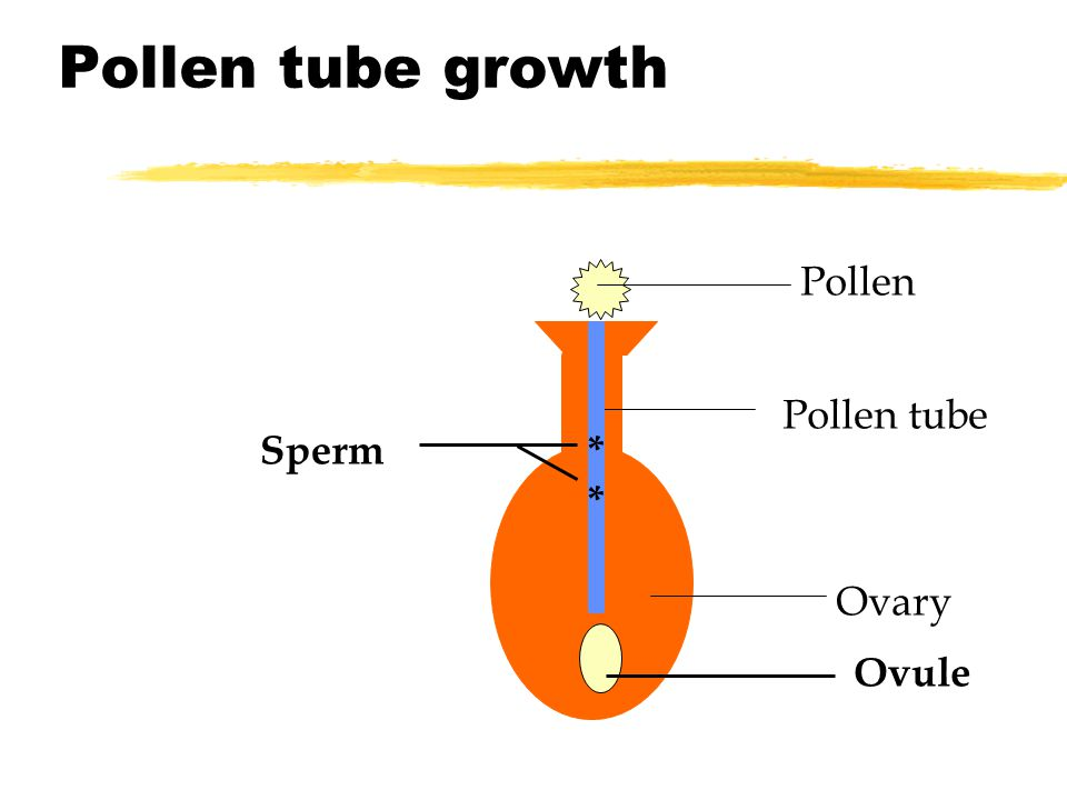 Pollen tube growth Pollen Pollen tube Sperm * Ovary Ovule