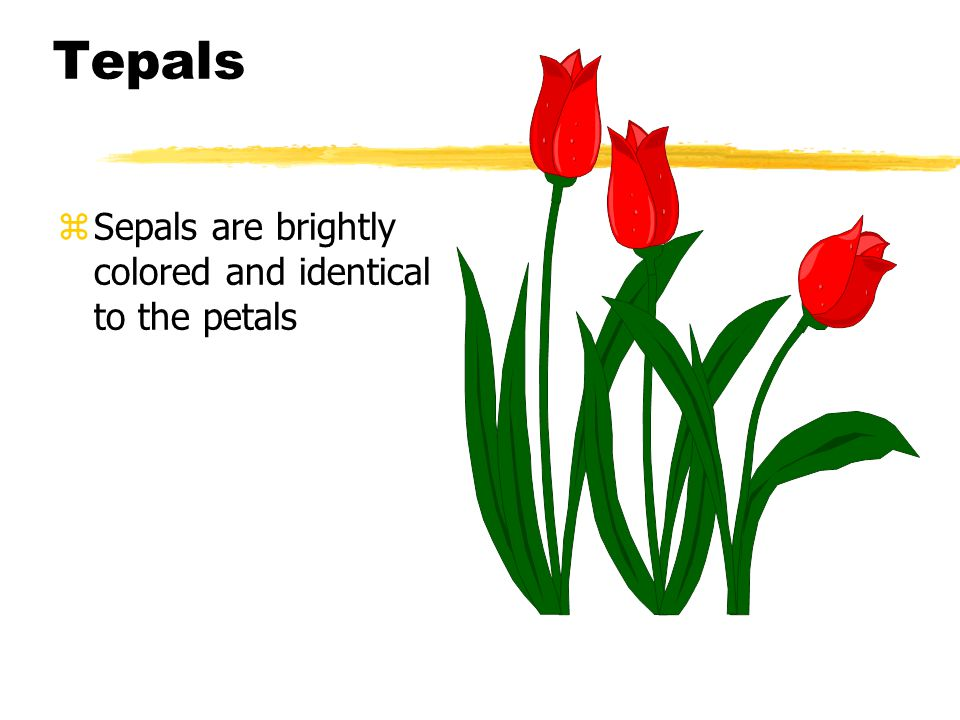 Tepals Sepals are brightly colored and identical to the petals