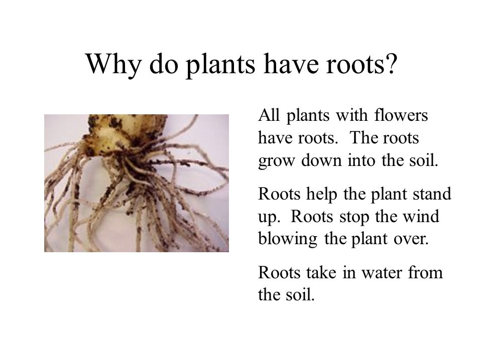 Why do plants have roots