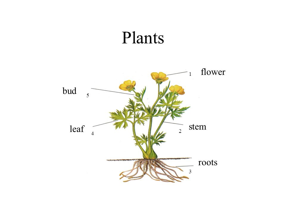Plants flower bud stem leaf roots 1 5 2 4 3 Plants