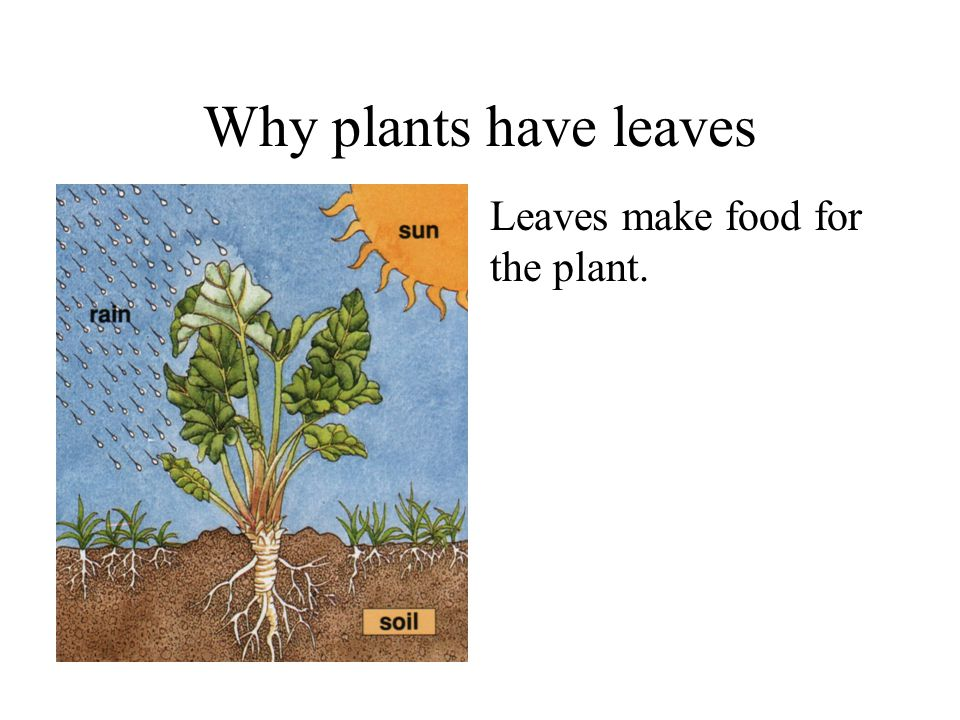 Why plants have leaves Leaves make food for the plant. Plants