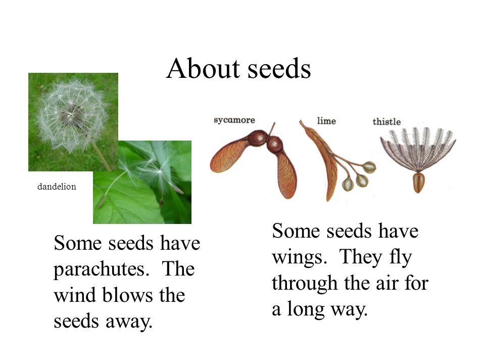About seeds dandelion. Some seeds have wings. They fly through the air for a long way.