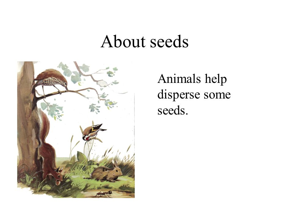 About seeds Animals help disperse some seeds. Plants