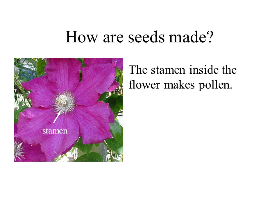 How are seeds made The stamen inside the flower makes pollen. stamen