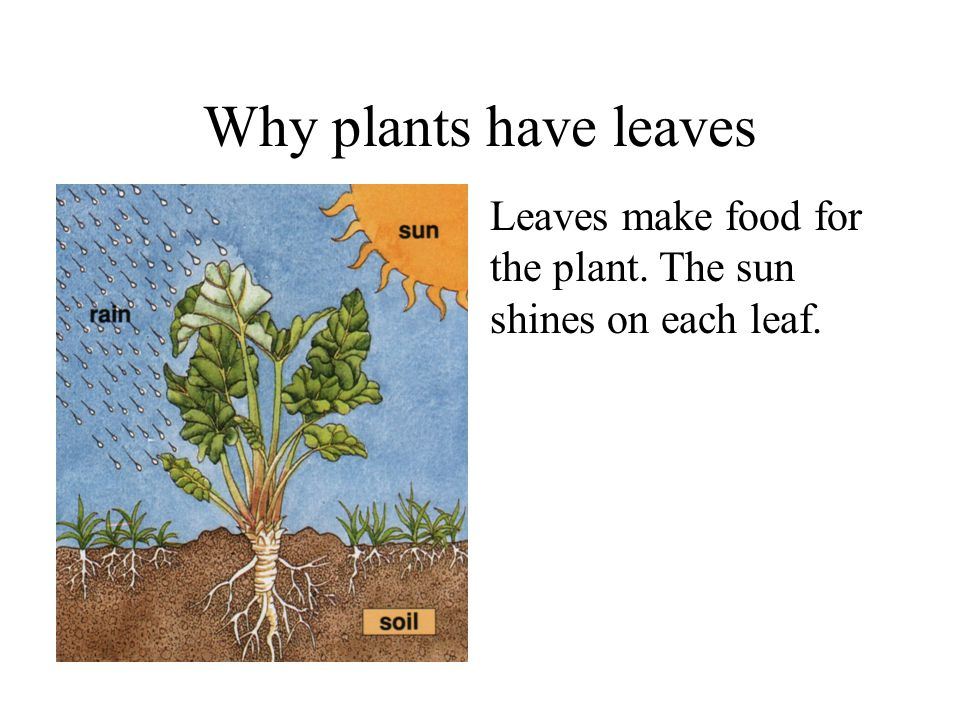 Why plants have leaves Leaves make food for the plant. The sun shines on each leaf.