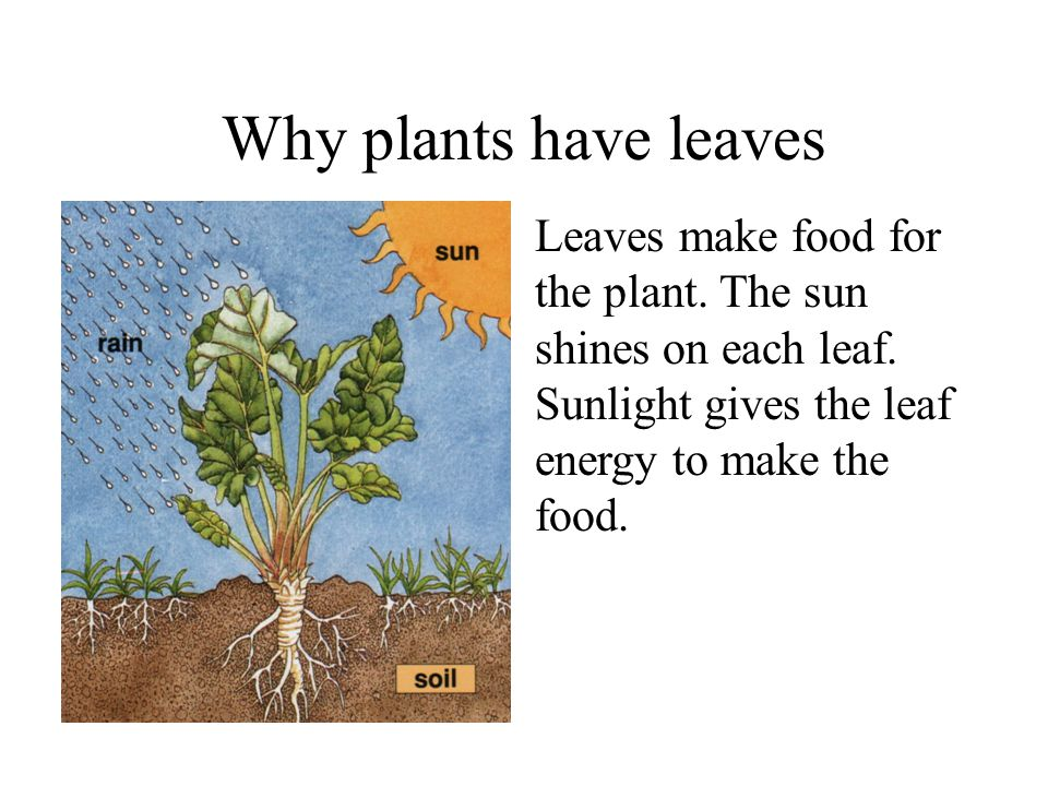 Why plants have leaves Leaves make food for the plant.