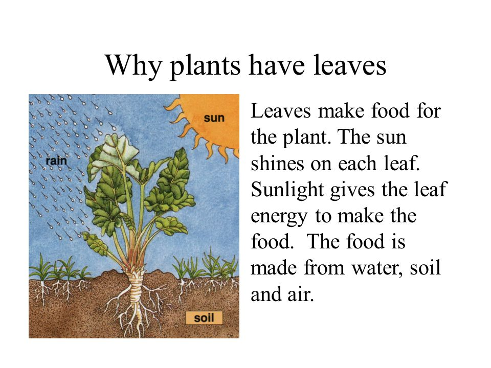Why plants have leaves