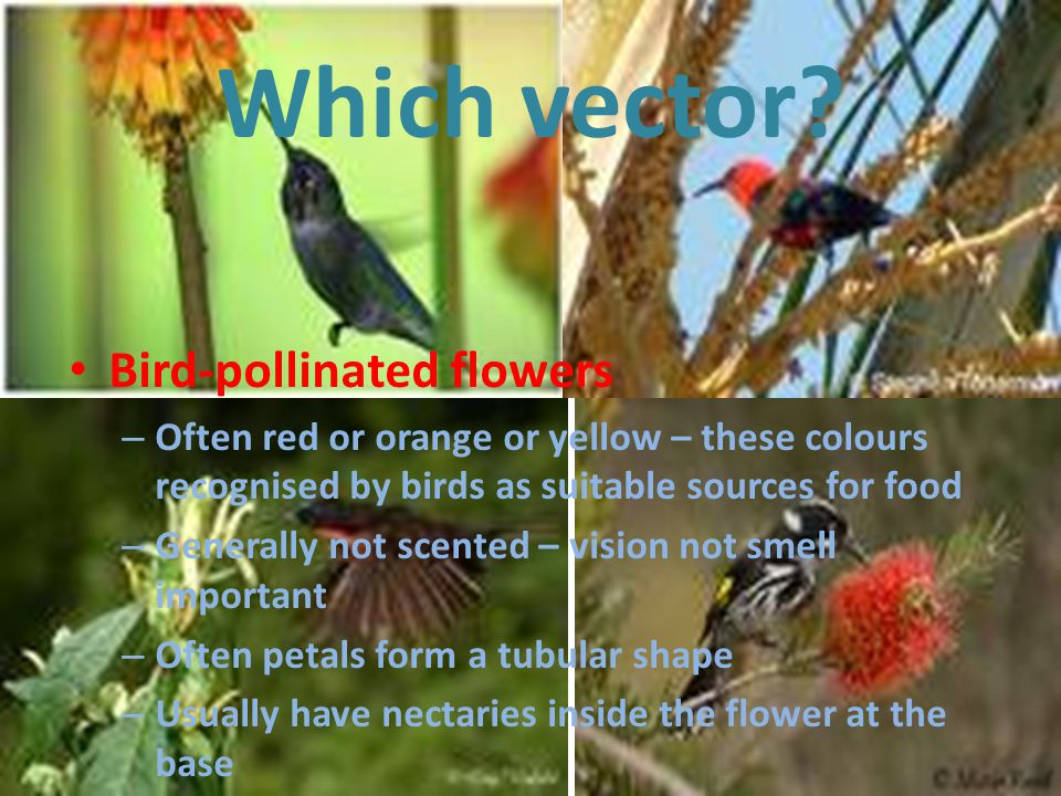 Which vector Bird-pollinated flowers