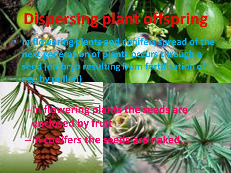Dispersing plant offspring