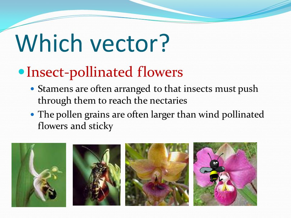 Which vector Insect-pollinated flowers