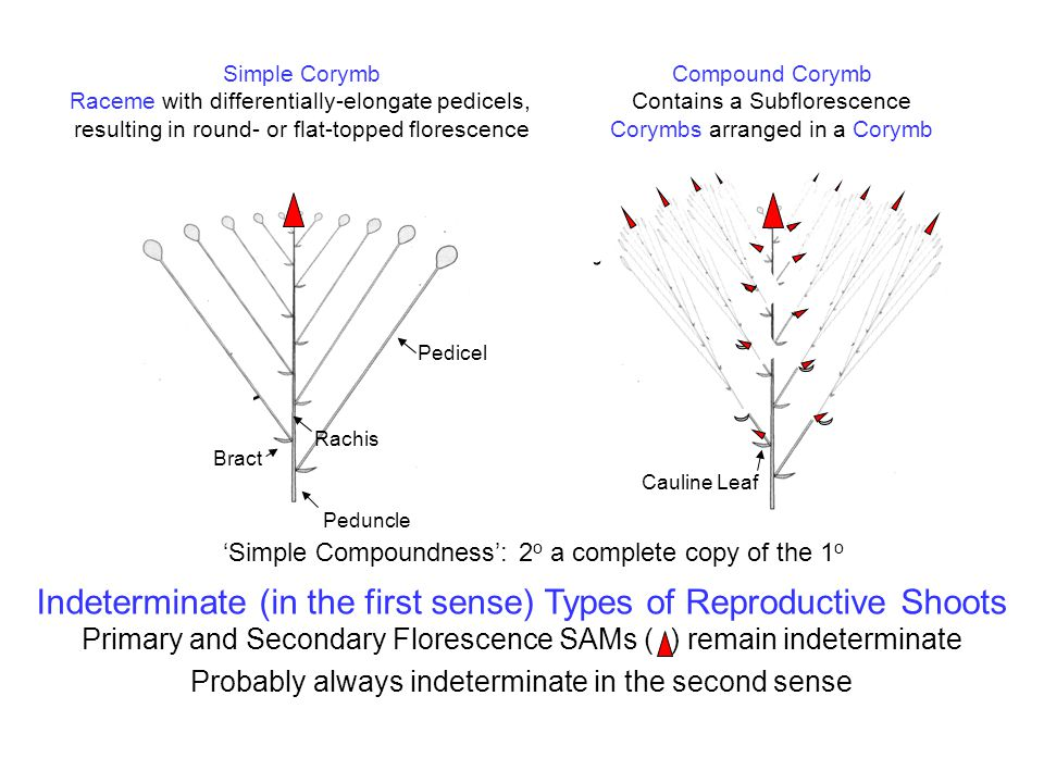 Indeterminate (in the first sense) Types of Reproductive Shoots