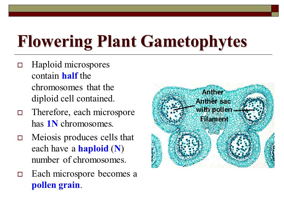 Flowering Plant Gametophytes