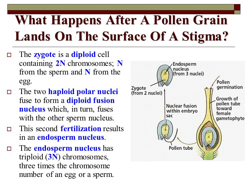 What Happens After A Pollen Grain Lands On The Surface Of A Stigma