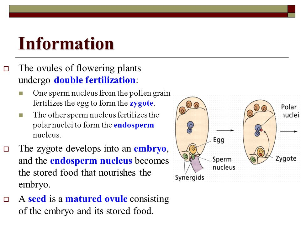 Information The ovules of flowering plants undergo double fertilization: