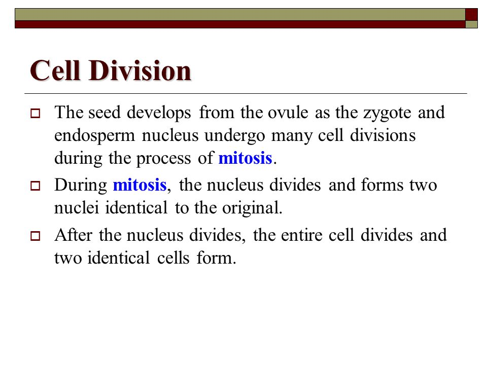 Cell Division The seed develops from the ovule as the zygote and endosperm nucleus undergo many cell divisions during the process of mitosis.