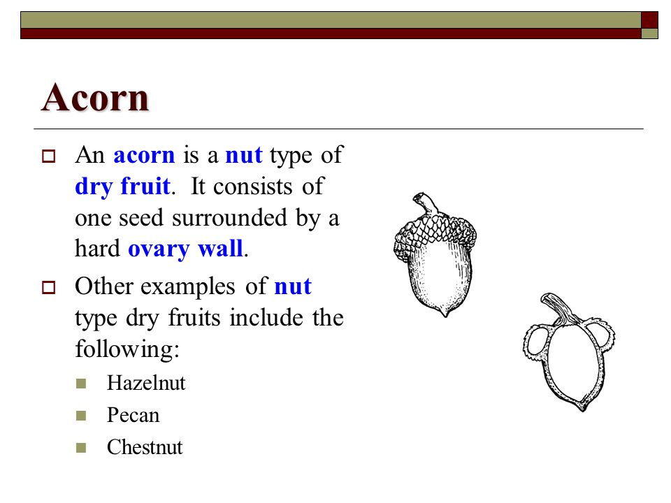 Acorn An acorn is a nut type of dry fruit. It consists of one seed surrounded by a hard ovary wall.