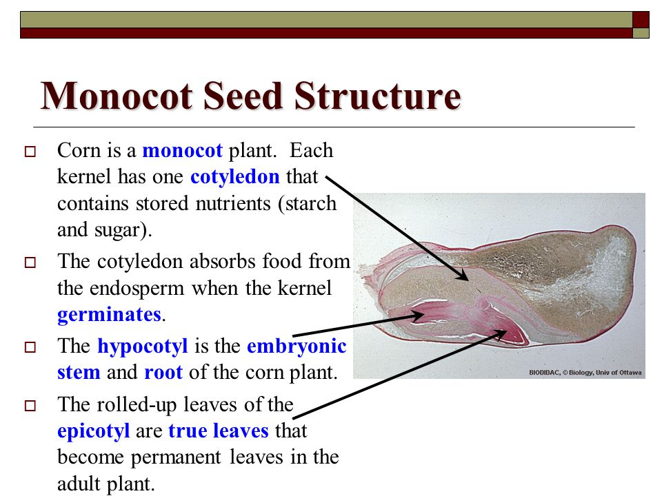 Monocot Seed Structure