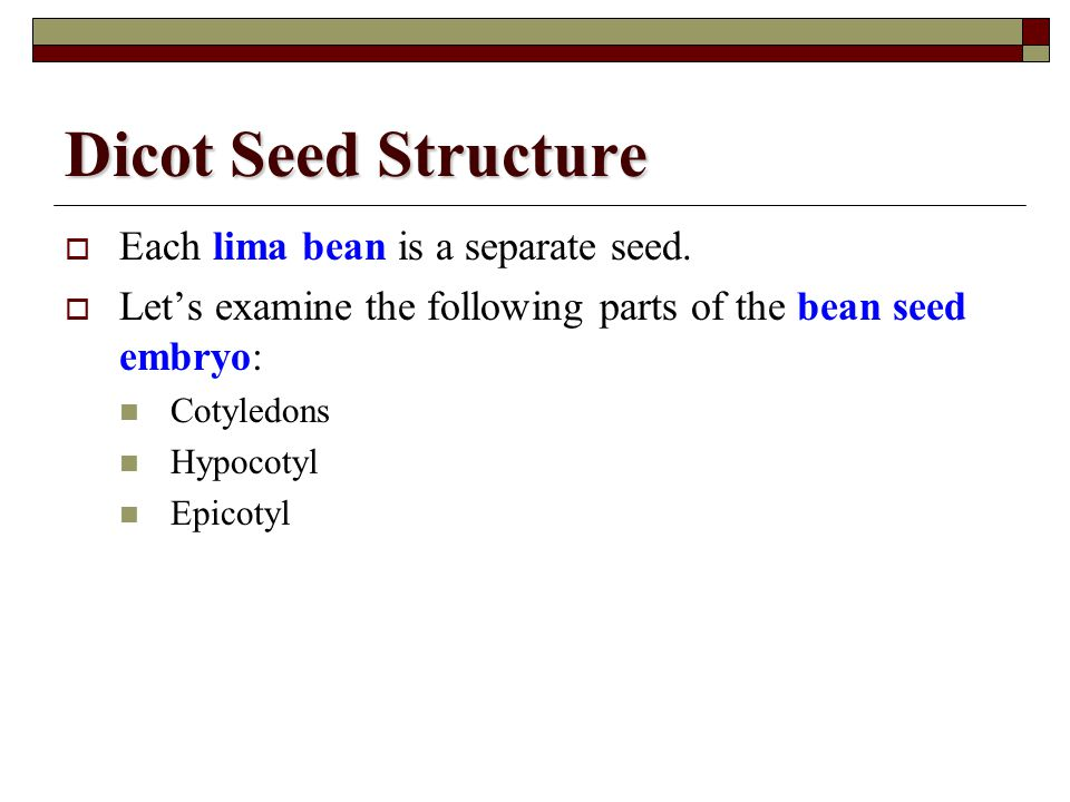 Dicot Seed Structure Each lima bean is a separate seed.