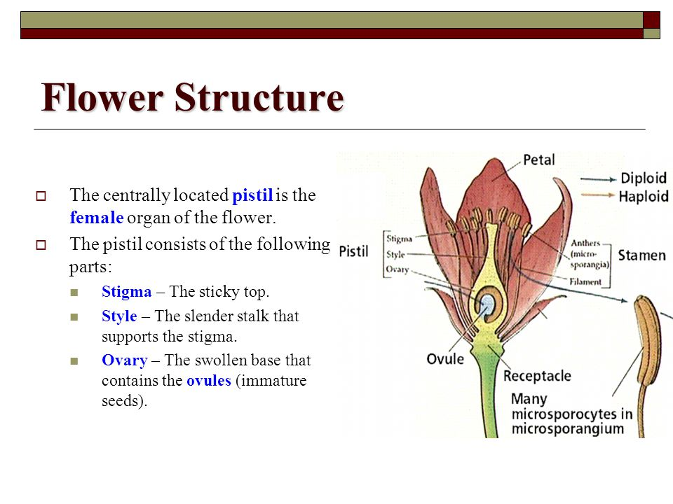 Flower Structure The centrally located pistil is the female organ of the flower. The pistil consists of the following parts: