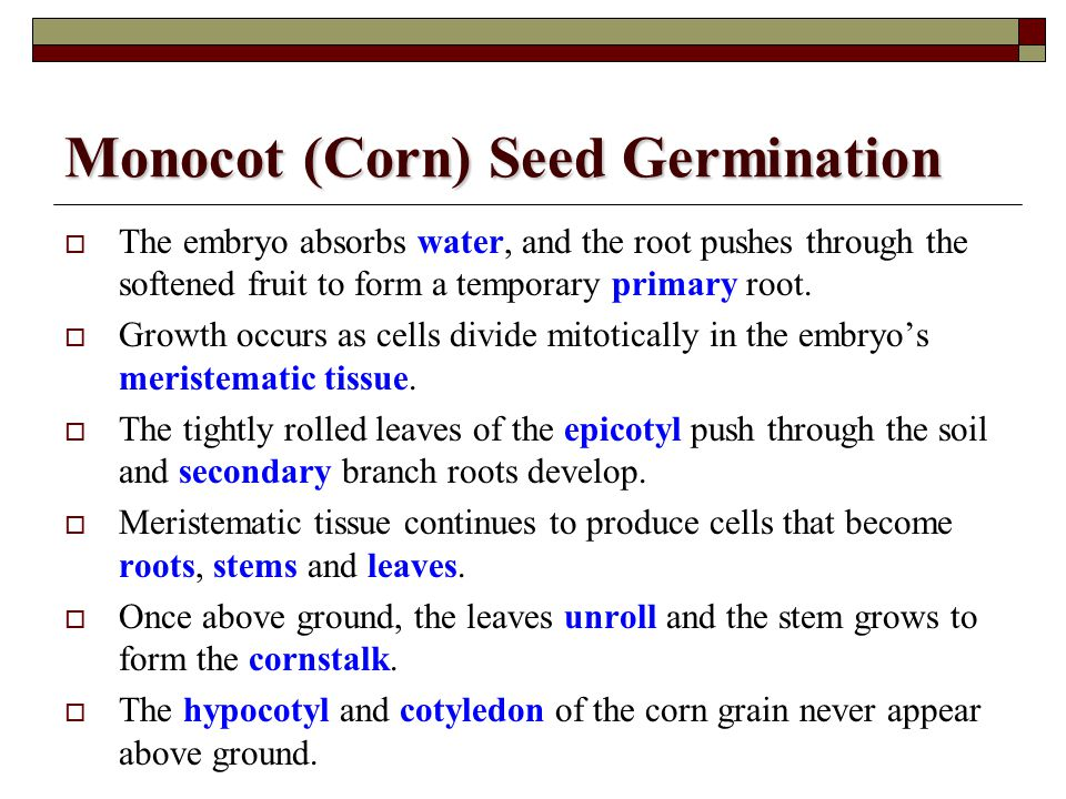 Monocot (Corn) Seed Germination